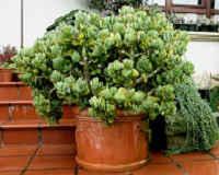 Денежное дерево уход в домашних условиях. Цветение
