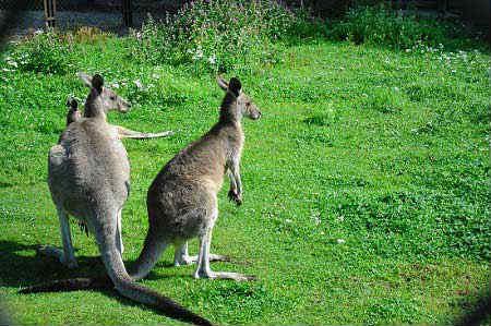 Kaliningradskiy-zoopark-kenguru