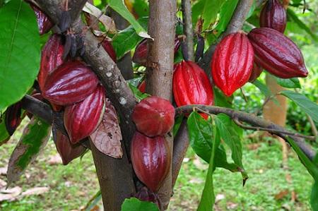 maslo-kakao-primenenie