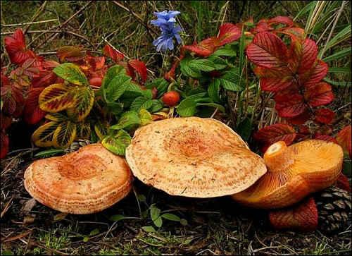как готовить грибы рыжики