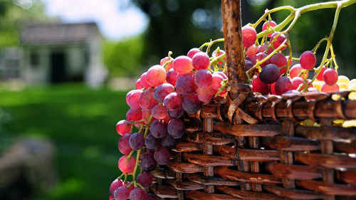 масло виноградных косточек применение