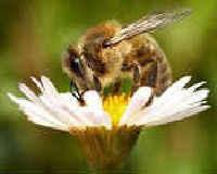 Пчелиный подмор - польза и вред. Как принимать.