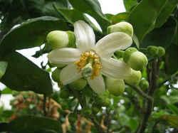 цветок помело