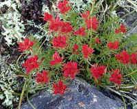 Красная щетка — лечебные свойства и противопоказания