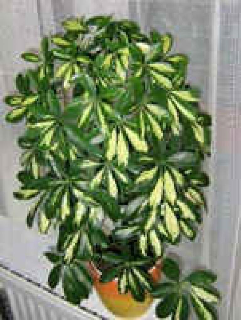 Комнатные цветы шефлеры