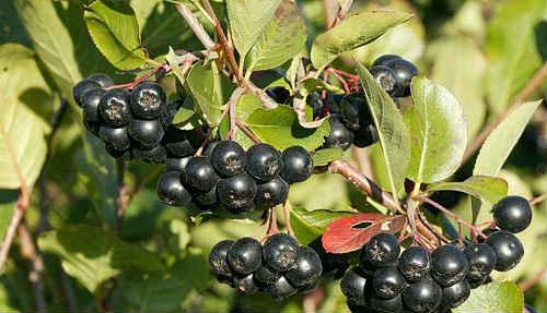 черноплодная рябина польза и вред