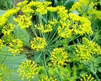 Семена укропа — лечебные свойства и противопоказания