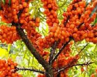 Облепиха — полезные свойства и противопоказания, польза листьев, сока, масла