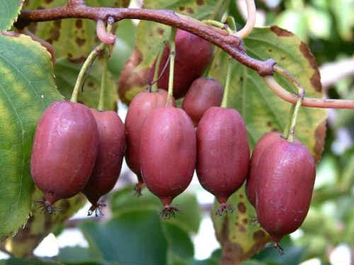 актинидия полезные свойства и противопоказания