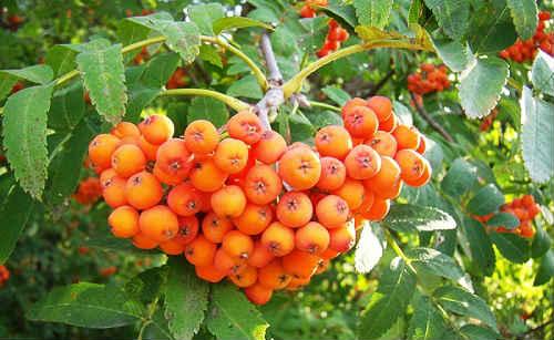 krasnaya-ryabina-lechebnye-svojstva-i-prtivopokazaniya