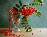 Красная рябина - полезные, лечебные свойства плодов, листьев, коры