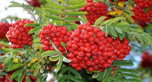 krasnaya-ryabina-poleznye-svojstva-retsepty