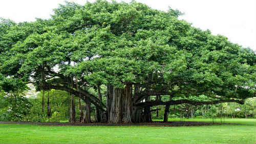 бадьян дерево фото описание
