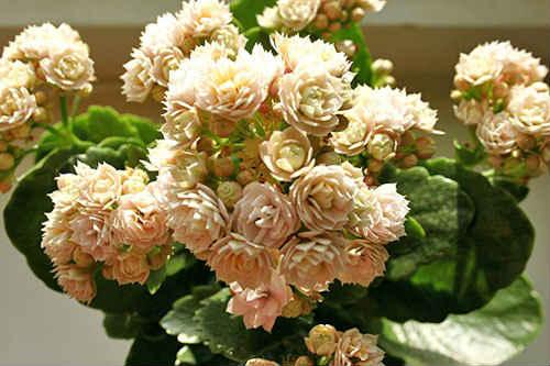 каланхоэ уход пересадка размножение цветка