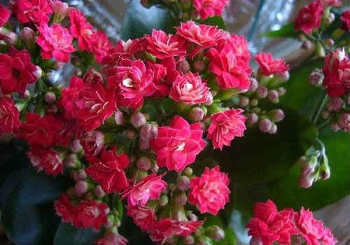 цветок каланхоэ содержание в домашних условиях