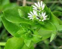 Трава мокрица - лечебные свойства и противопоказания, применение