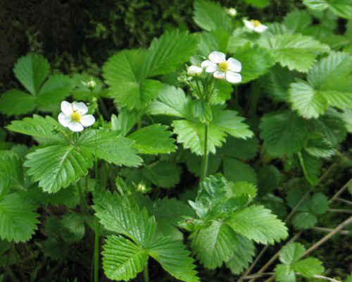 листья земляники лечебные свойства в гинекологии
