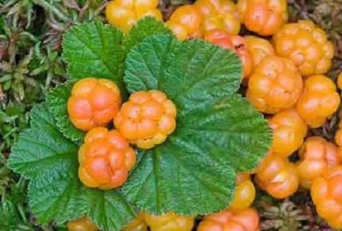 листья морошки полезные свойства