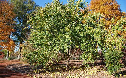 адамово яблоко рецепты приготовления и способы лечения