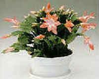 Цветок декабрист - уход в домашних условиях
