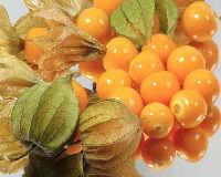 Физалис - выращивание и уход земляничного и овощного вида