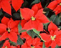 Пуансеттия, рождественская звезда - уход в домашних условиях
