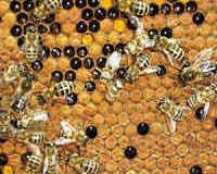 Перга пчелиная полезные свойства, как принимать