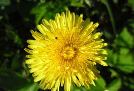 дикорастущие съедобные растения