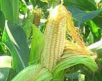 маринованная кукуруза в початках на зиму