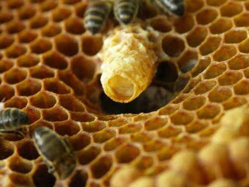 молочко пчел