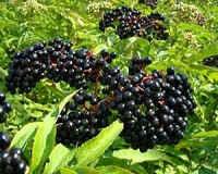 Черная бузина — полезные свойства и противопоказания, рецепты