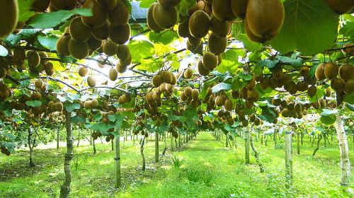 киви ягода или фрукт