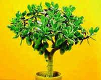 Денежное дерево — лечебные свойства и противопоказания толстянки