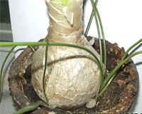 Индийский лук - лечебные свойства и применение