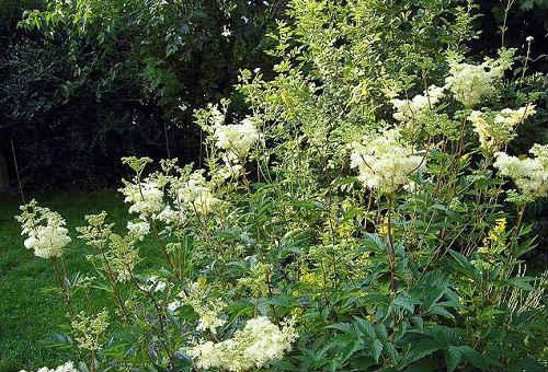 labaznik-lechebnye-svojstva-i-protivopokazaniya