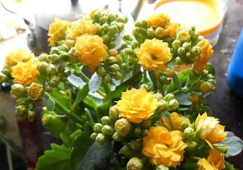 цветок каланхоэ содержание