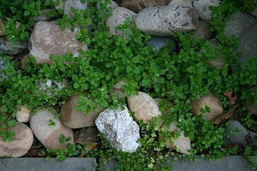 мокрица трава лечебные свойства от щитовидки