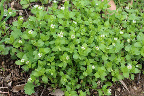 трава мокрица лечебные свойства и противопоказания