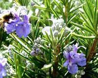 Розмарин - лечебные и полезные свойства листьев, масла