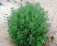 Солянка холмовая - лечебные, полезные свойства и противопоказания