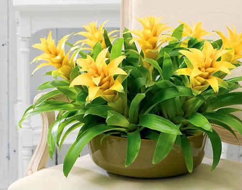 комнатный цветок гузмания