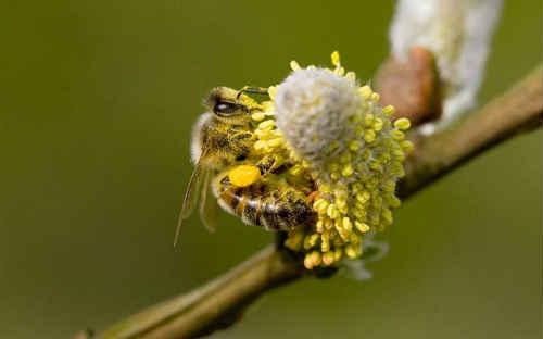 пыльца для беременных