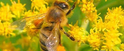 цветочная пыльца применение