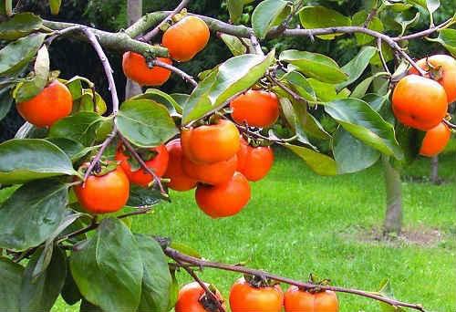 как растет дерево хурма