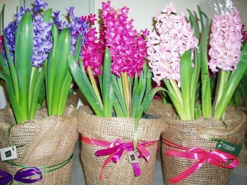 гиацинт цветение