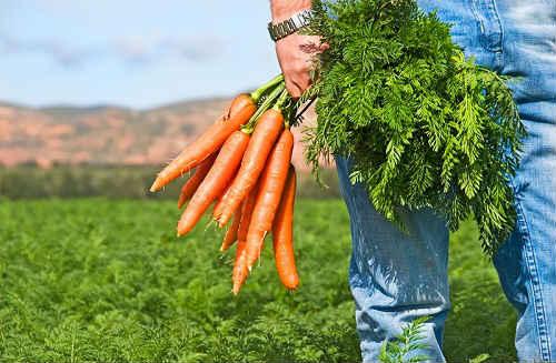 морковка в открытом грунте весной