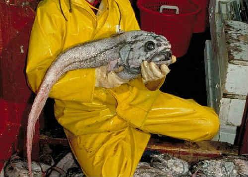 макрурус что за рыба